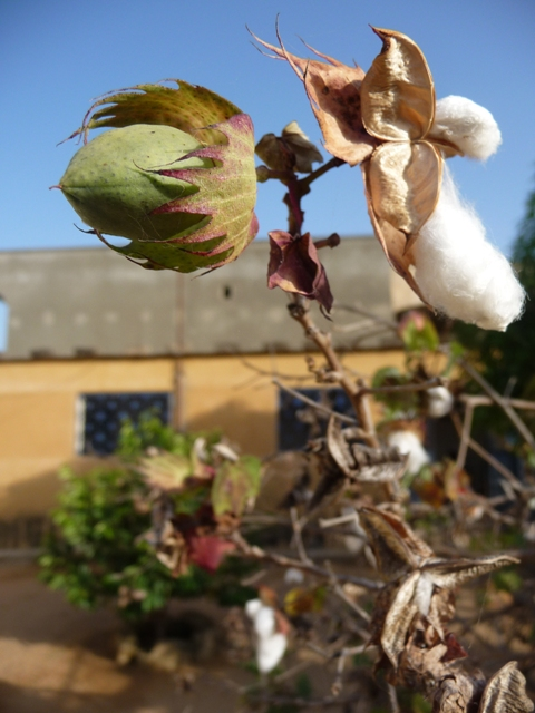 11 Nov 2008<br>Mbour, small coast of Senegal. <br> Sheik in front of some natural cotton grows hatched: Yes cotton grows on trees, like héxomédine! by Google Translate