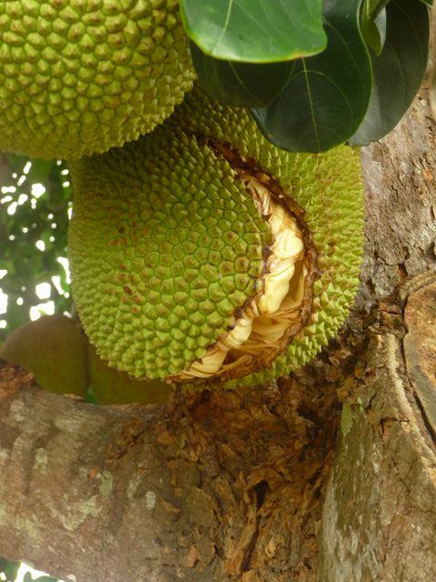 21 Jan 2009<br>The nut of Jaca is a large fruit that is very strange from around the warm regions of Brazil. This one is pretty well fed up! <br> Nova Venecia, Minas Gerais, Brazil by Google Translate