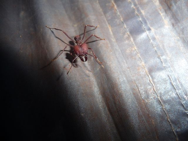 Here is one of the perpetrators of the near destruction of my beloved tent. Huge is not it? <br> Here Is One of the bloody ants Who Destroyed half my dear shelter of the night. <br> Santa Rita, Paraguay