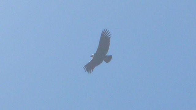 31 May 2009<br>The Andean condor, the emblem of Chile. <br> hills of Santiago, Chile