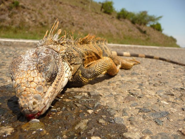 Lizard death on the road. The damage of speed. Thank you cars and trucks! Yotoco, Colombia