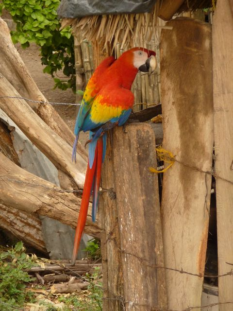 10 Jan 2010<br>Flowing magnificent macaw parrot who greets me with a &quot;BUUUUUUEEEEENOOSS DIAS! &quot;Amazing! Macajan, Colombia